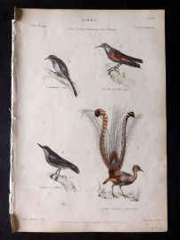 Richardson 1862 HC Bird. Creeper, Wall Creeper, Nuthatch, Lyre Bird. Australia